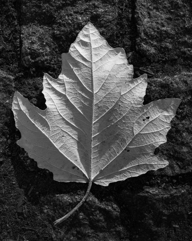 "Illustration for the poem ""Leaf of Absence"" by Robert Lutz"